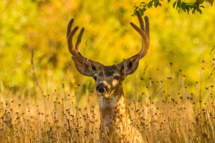 Deer Horns Animals wallpaper