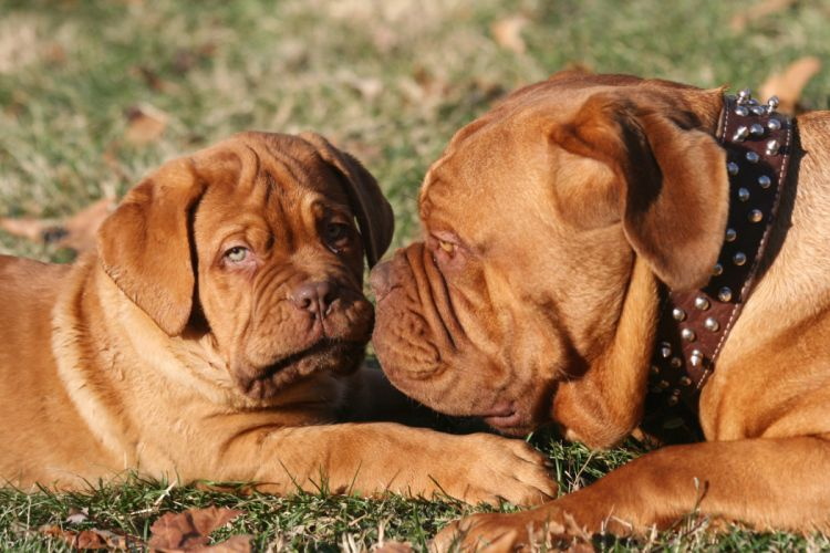 Dogs Dogue de Bordeaux Two Animals puppy baby wallpaper