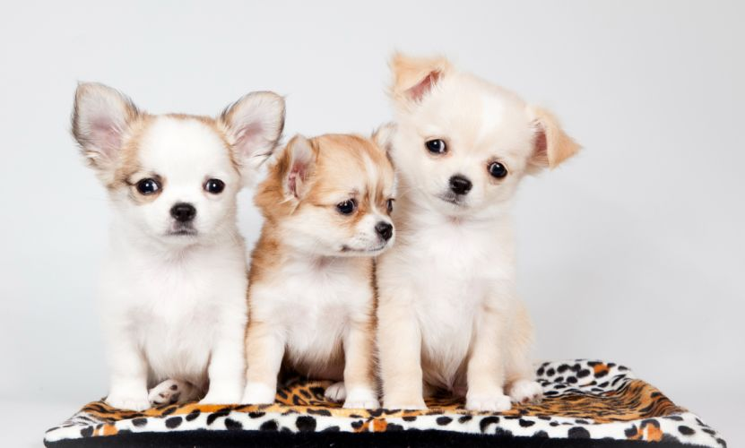 Dogs Puppy Three 3 Carpet Animals baby wallpaper