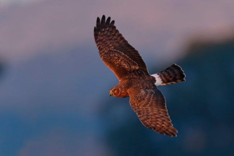 Falcon birds flying animals predator wallpaper