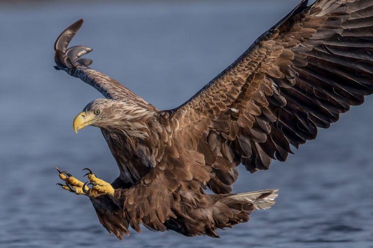 Hawk Birds Flight Wings Animals eagle predator wallpaper