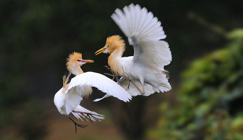Heron Bubulcus ibis Two Animals bokeh fighting battle crane flight fly wallpaper