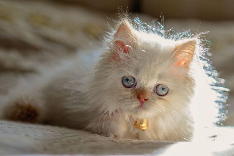 Himalayan Persian color-point kotaka blue eyes baby kitten wallpaper