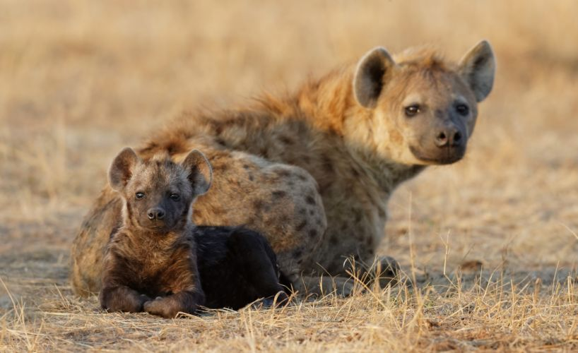 Hyena Cub Two Animals baby wallpaper