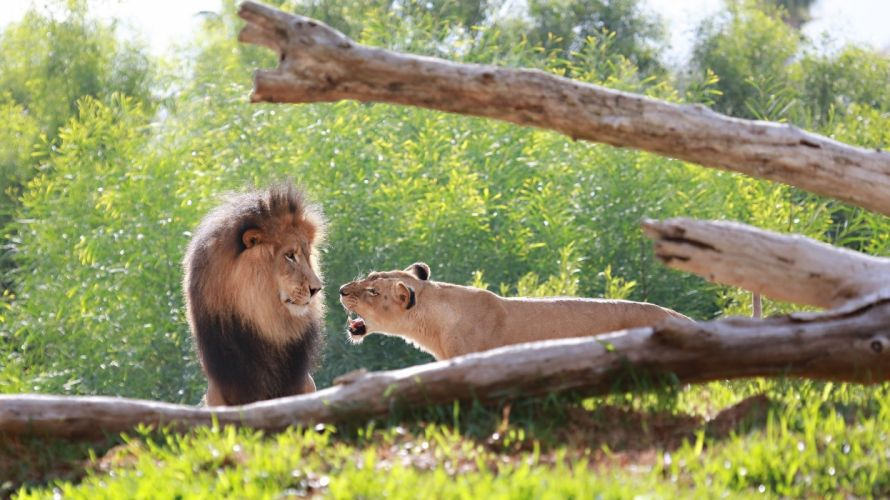 lions couple family lion lioness mane muzzle quarrel roar wallpaper