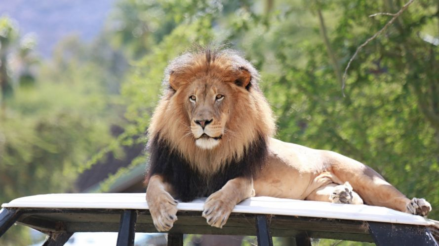 lion wild cat carnivore muzzle mane lying vacation zoo wallpaper
