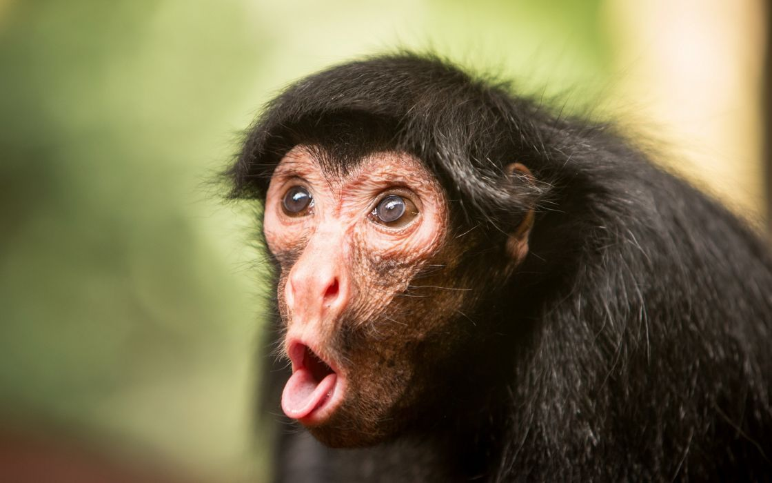 Monkeys Snout Animals monkey face funny humor comedy tongue wallpaper