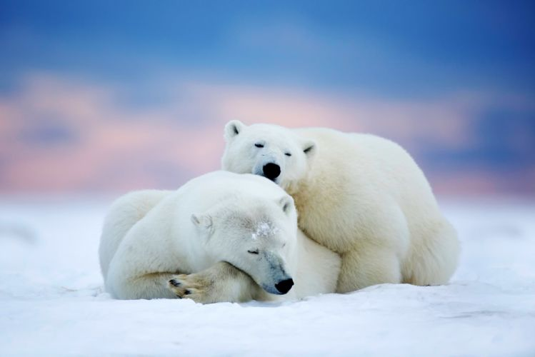 Polar bears two sleeping snow sky winter animals bear wallpaper