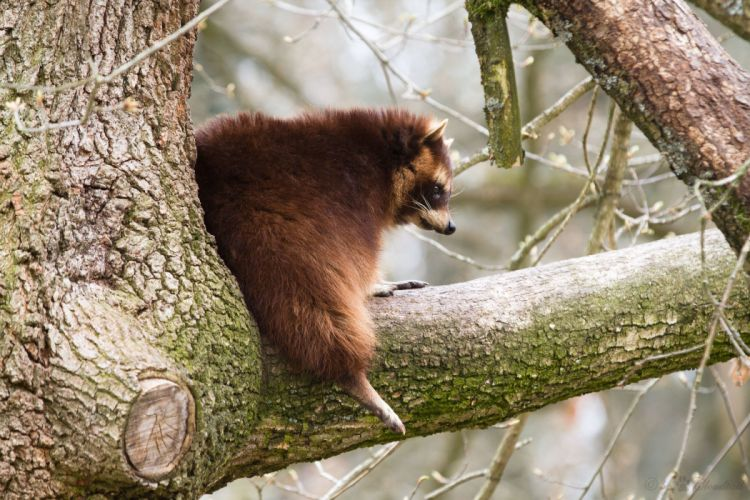 Raccoon Trunk tree Animals forest wallpaper