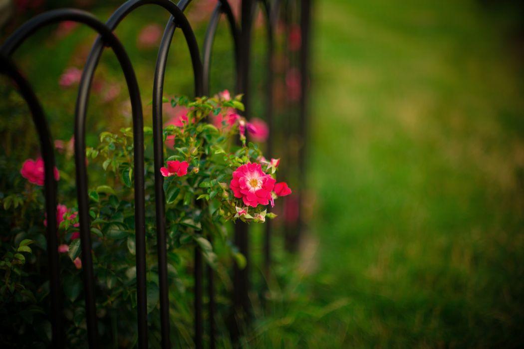 Roses Bush flowers fence bars garden nature bokeh wallpaper