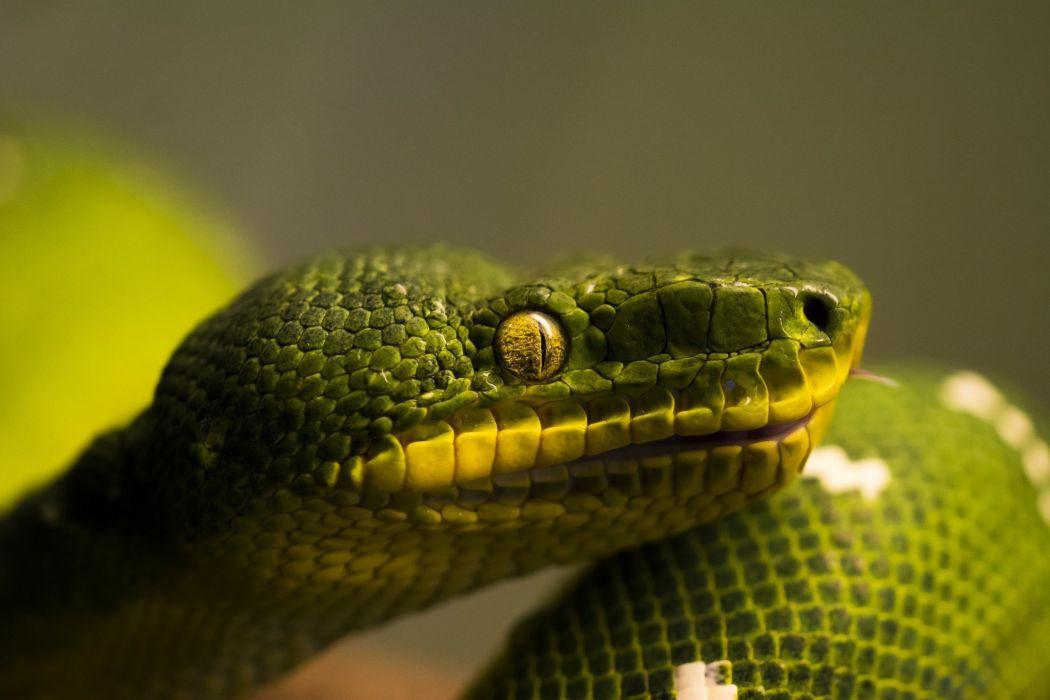 Snakes Closeup Animals reptile snake eyes eye wallpaper