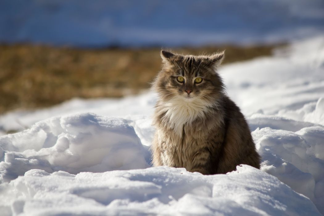 winter cat snow wallpaper