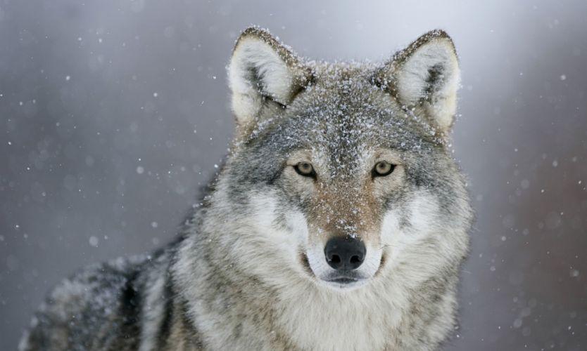 Wolf predator eyes snow winter animals wolves snowing wallpaper