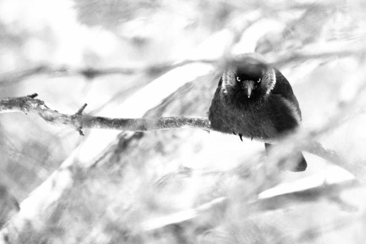 winter crow branch gothic dark death wallpaper