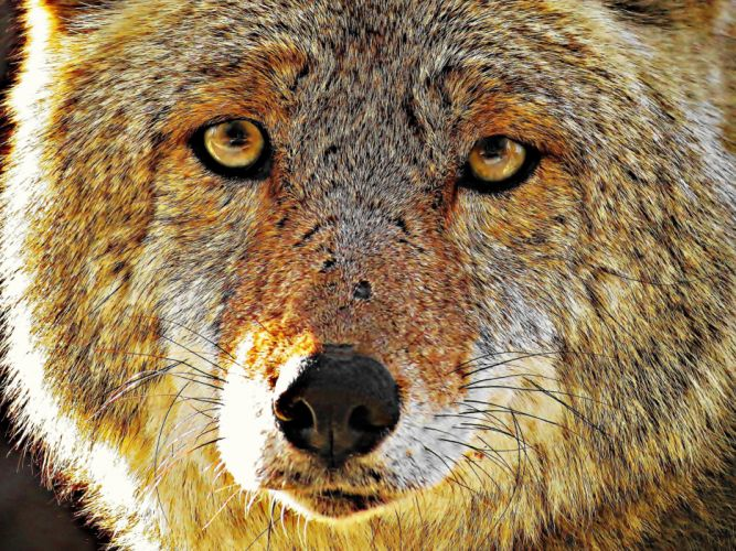 Wolf predator eyes snow winter animals wolves wallpaper
