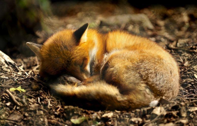fox asleep wallpaper