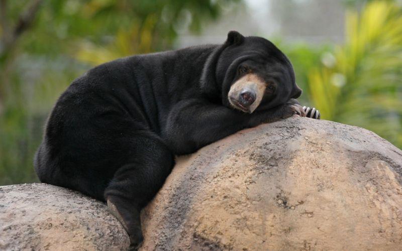 black bear wallpaper