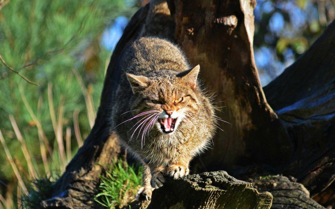 scottish wild cat wallpaper