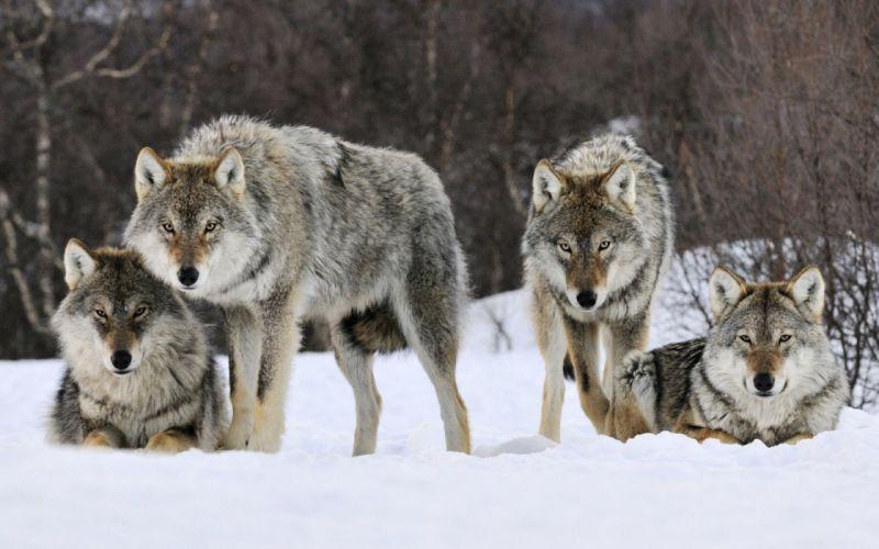 lobos nieve naturaleza manada wallpaper