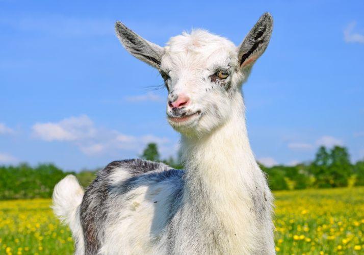 Artiodactyl Goat Animals wallpaper