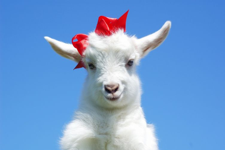 Artiodactyl Goat Bowknot Animals baby wallpaper