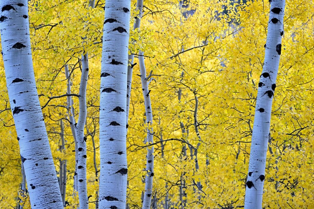 Autumn Seasons Trunk tree Branches Foliage Birch Nature forest wallpaper