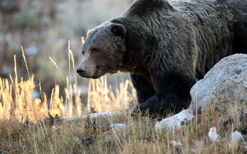 Bear stones beast wallpaper