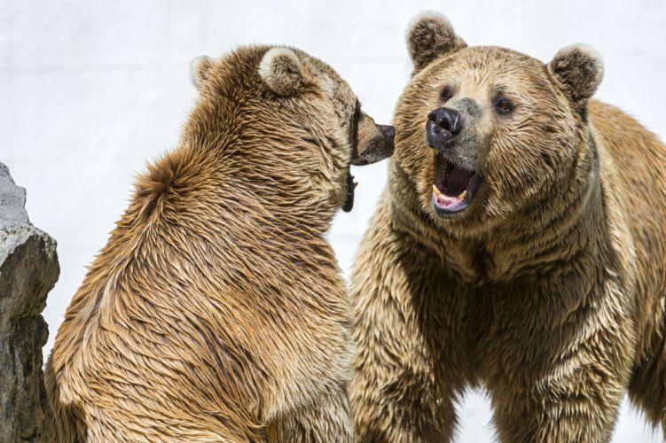 Bears Brown Two Roar Animals bear wallpaper