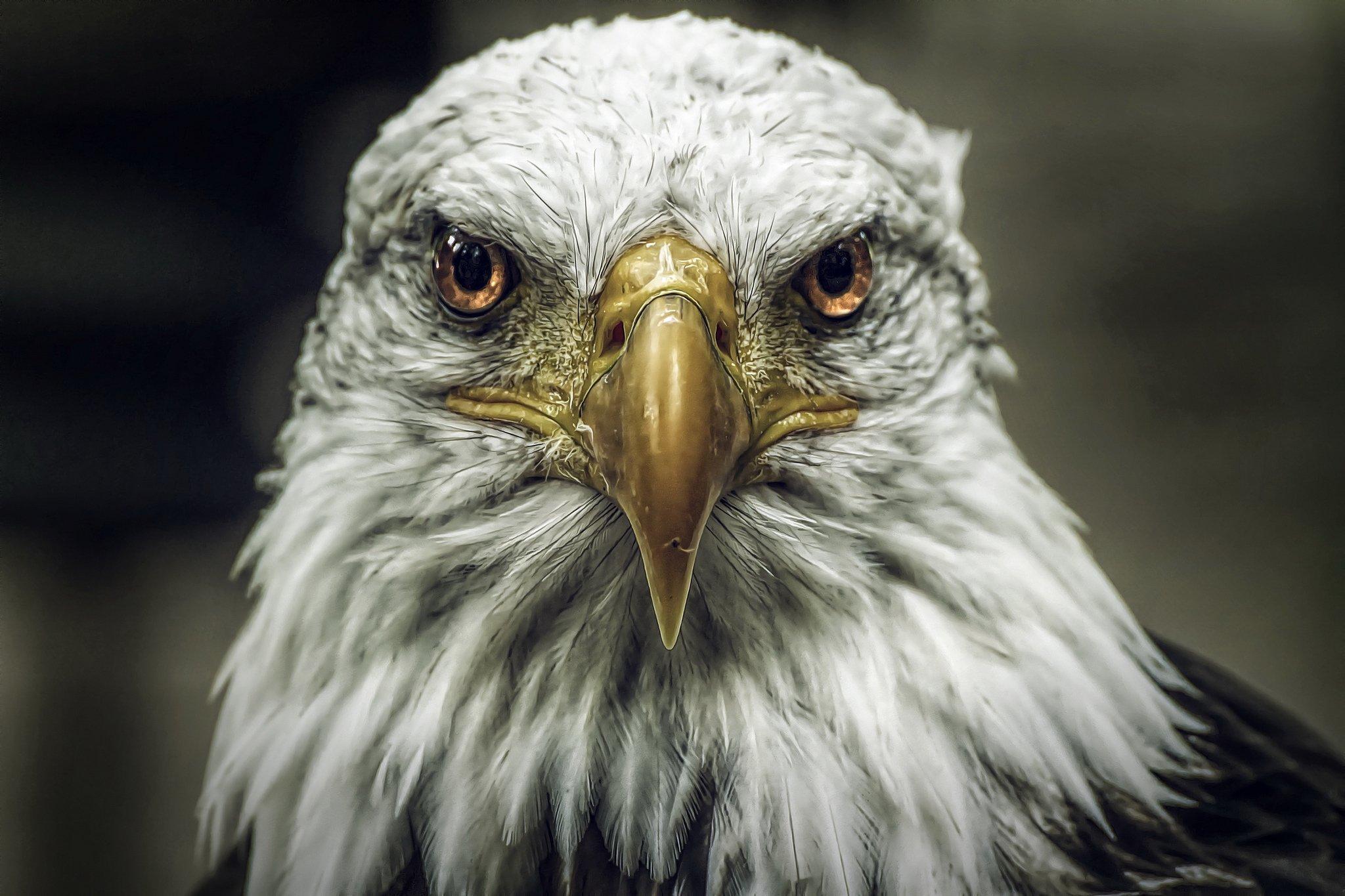 Bald eagle head front - photo#19