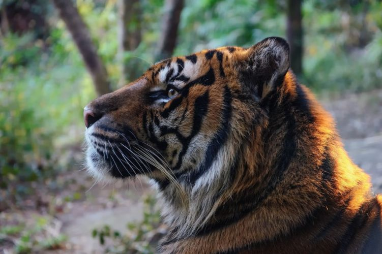 Big cats Tiger Whiskers Snout Animals wallpaper