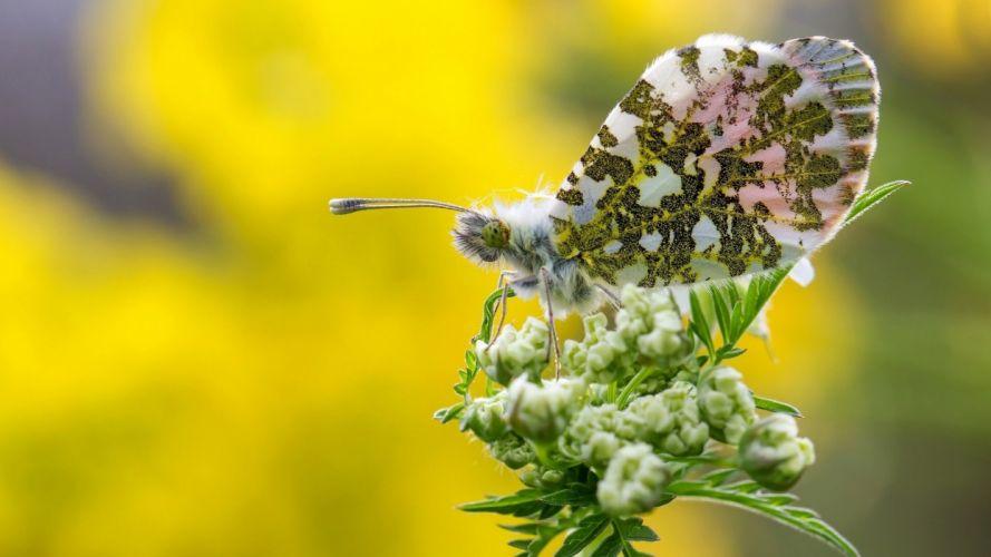 Butterflies Closeup Animals butterfly wallpaper