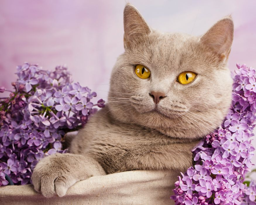 British Shorthair cat cat lilac portrait wallpaper
