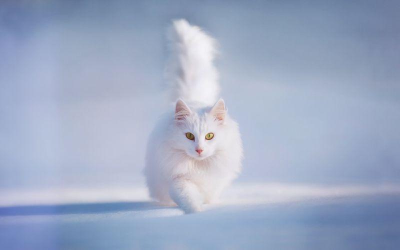 cat tail yellow eyes snow white furry animal winter wallpaper