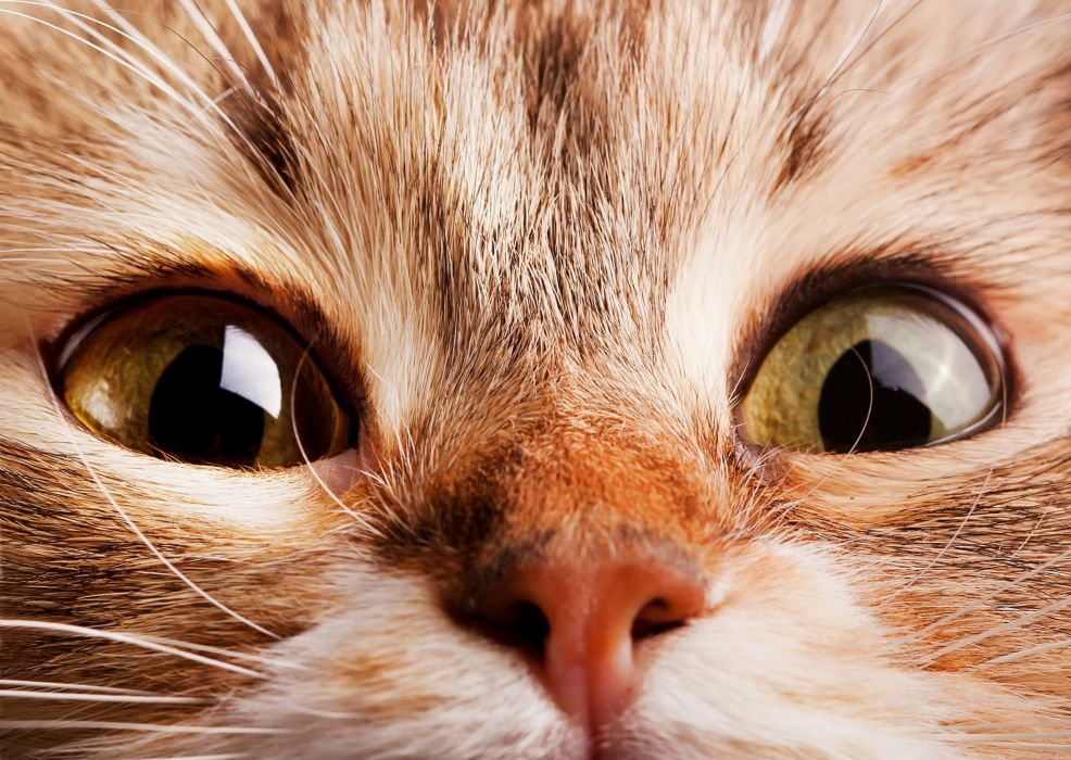 cat muzzle nose eyes wallpaper