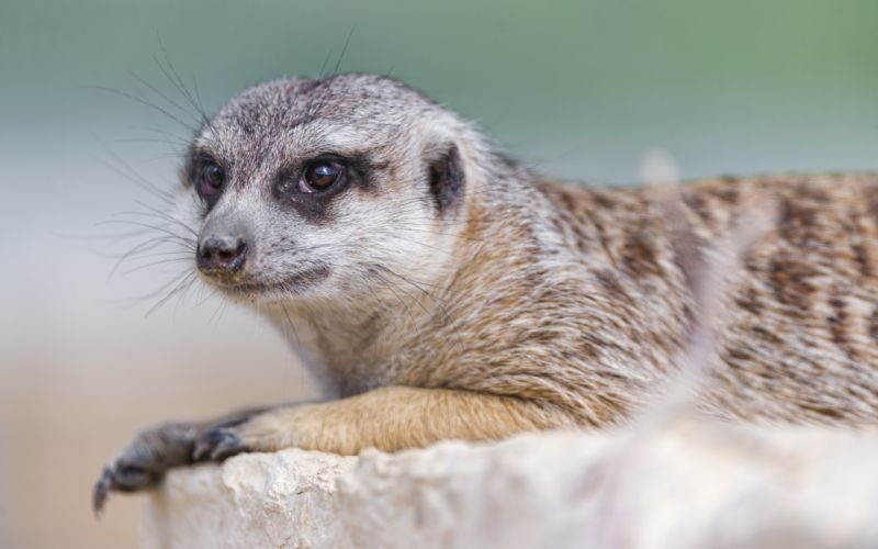 Closeup Meerkat Whiskers Animals wallpaper
