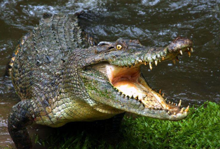 crocodile jaws teeth wallpaper