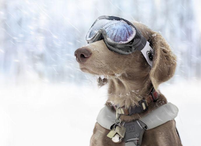 dog snow sport winter glasses wallpaper