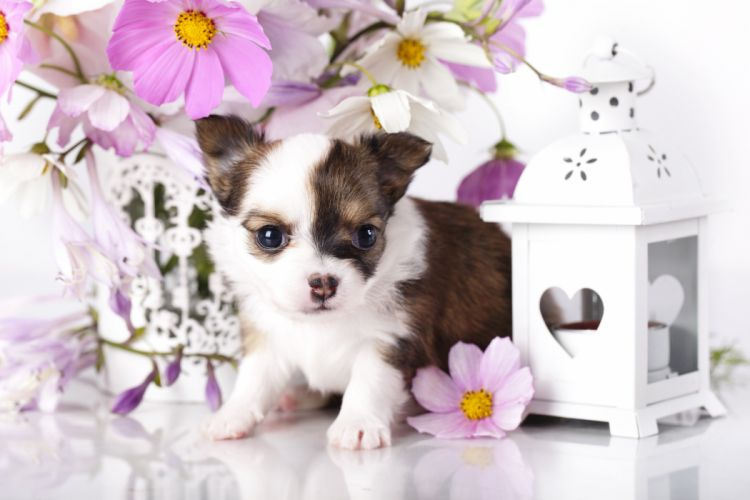 Dogs Chihuahua Puppy Animals baby wallpaper