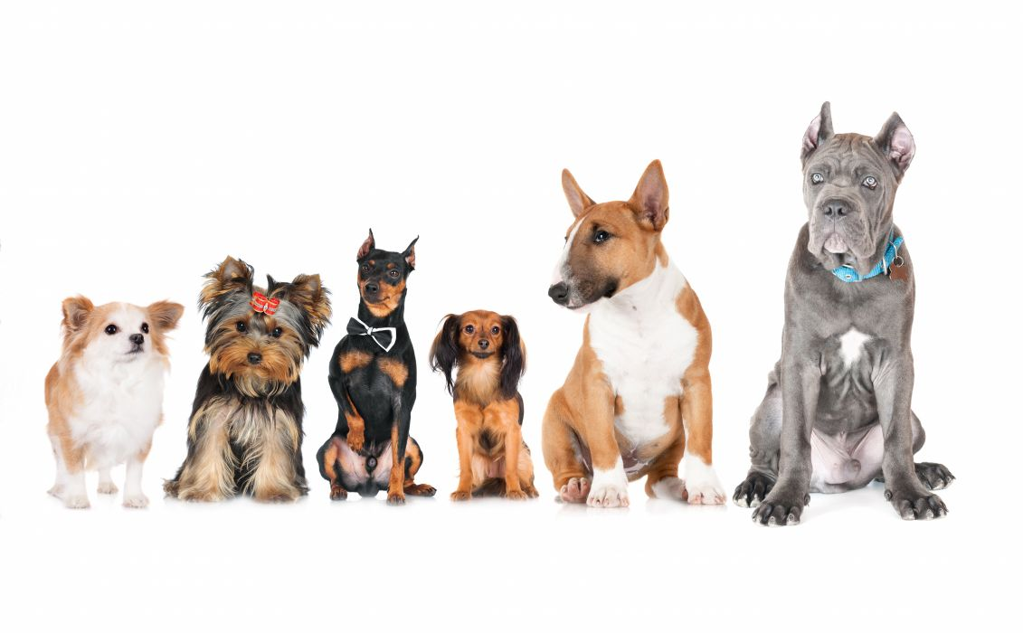 Dogs Cats Russkiy Toy Doberman Chihuahua Bull Terrier Yorkshire wallpaper