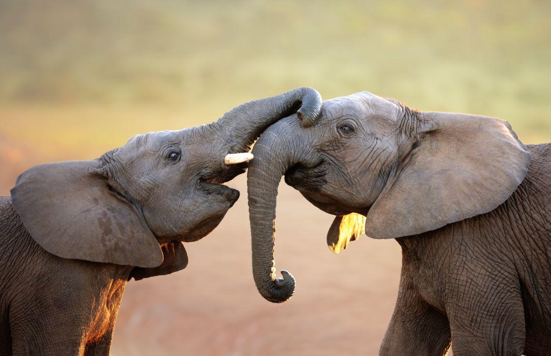 elephants elephant wallpaper