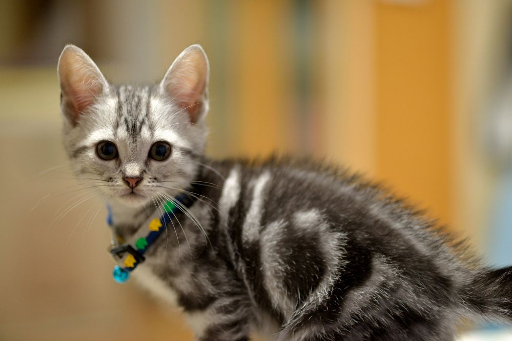 gray kitten muzzle baby cat wallpaper