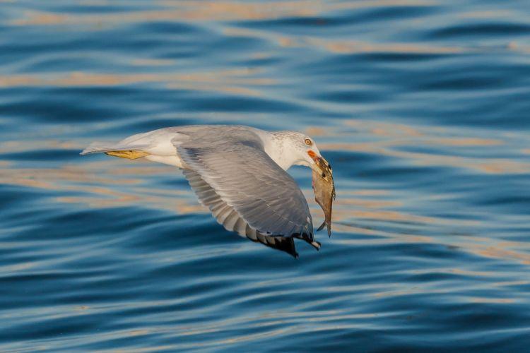 Gull Fish Water Flight Animals seagull wallpaper