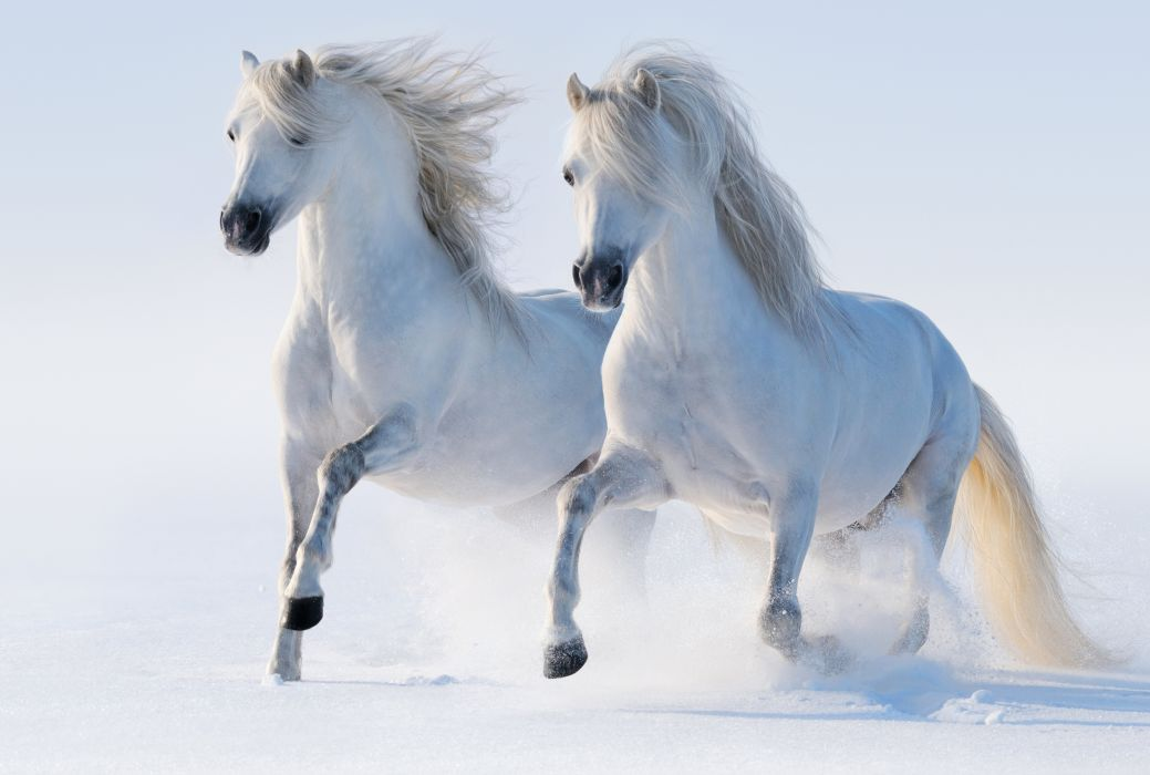 Horses White Run Two Snow Animals winter wallpaper