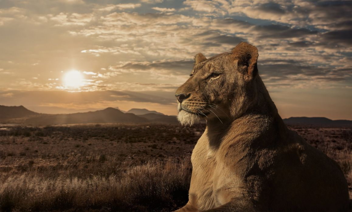 Lion Lioness Savannah Sunset Wallpaper 2048x1238 599231