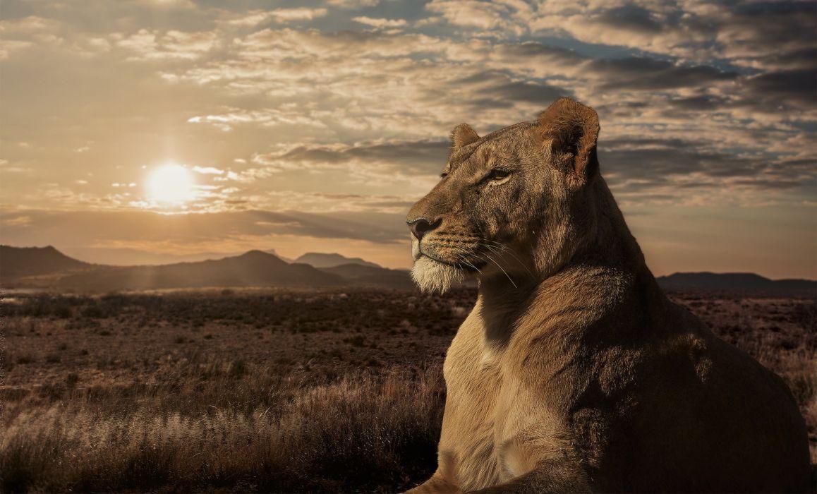 lion lioness savannah sunset wallpaper