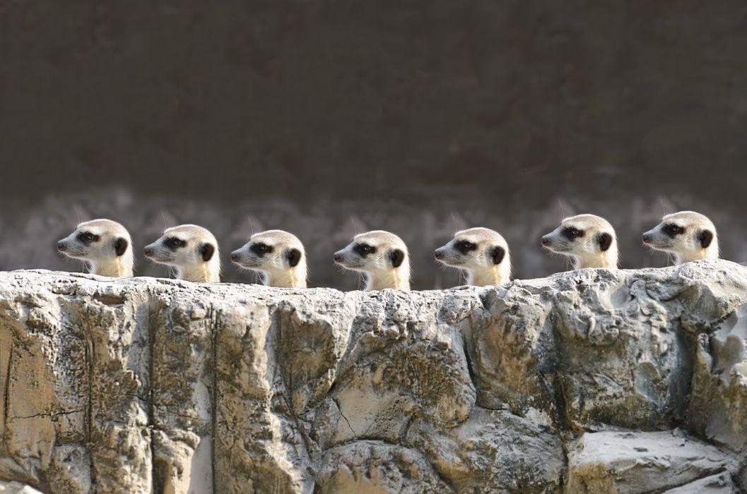 Many Stones Meerkat Suricata suricatta Animals wallpaper