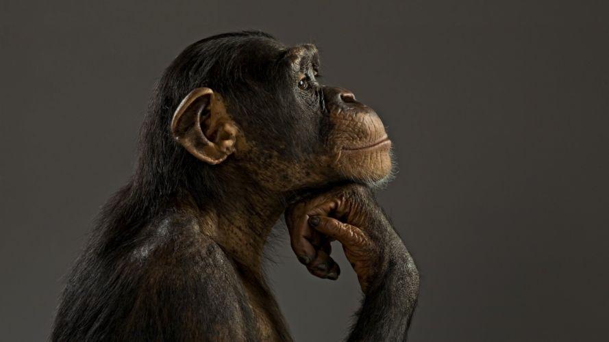 monkey chimpanzee think wallpaper