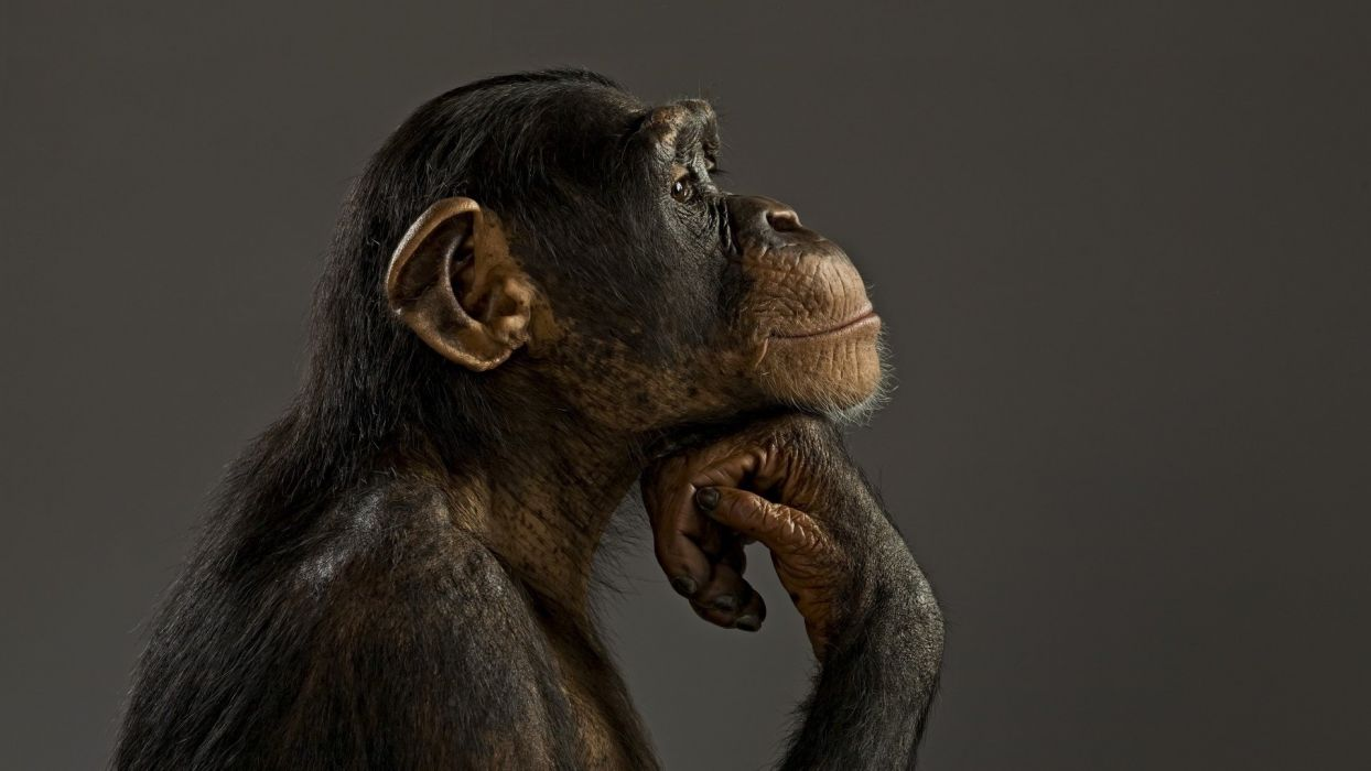 monkey chimpanzee think wallpaper