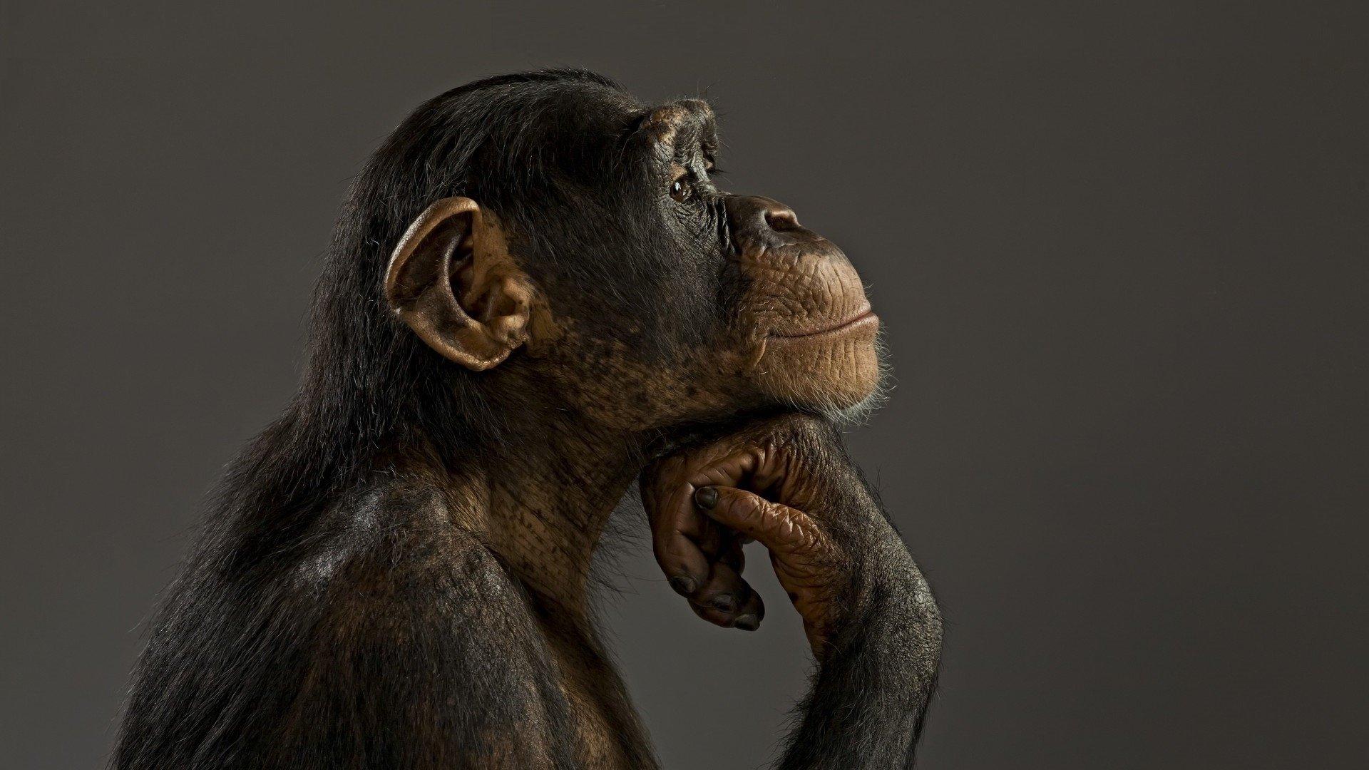 Monkey Wallpaper monkey wallpapers | wallpaperup