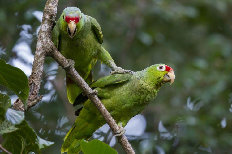 Parrot Birds Two Branches Beak Animals wallpaper